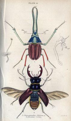 Jardine's Beetles, 1832