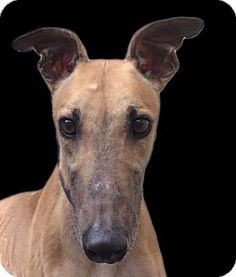 6/2016***Calm, gentle , playful and friendly..that's me! My motto is: Race cars not dogs! Please meet me soon! Ryan - Greyhound - Adult - Male - Fast Friends Greyhound Adoption Center - Keene, NH. - http://www.helpinggreyhounds.org/ - https://www.facebook.com/Fast.Friends.Greyhounds/ - http://www.adoptapet.com/pet/12715087-swanzey-new-hampshire-greyhound - https://www.petfinder.com/petdetail/31854070