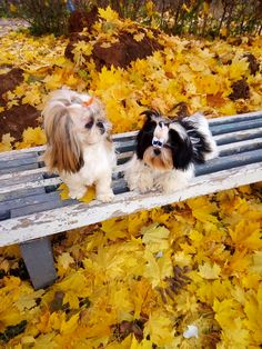 Everything About Smart Shih Tzu Puppies Exercise Needs Shih Tzu Hund, Maltese Shih Tzu, Shih Tzus, Shih Tzu Puppy, Yorkie, Chihuahua, Shitzu Puppies, Teacup Puppies, Dogs And Puppies