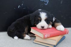 😍🐶📚 Ready to meet these gorgeous #Bernese Mountain Dog puppies?! They have a loving temperament, are easy going, and love to play! They will be sure to smother you with lots of hugs and kisses, especially when going back to school. #BerneseMountainDog #LancasterPuppies www.LancasterPuppies.com Bernese Mountain, Mountain Dogs, Puppies For Sale, Dogs And Puppies, Puppy Quotes, Lancaster Puppies, Going Back To School, Hugs, Kisses