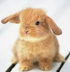 I've been wanting a holland lop bunny but know nothing about the breed like how much does it cost to have one of these sweet bunnies, how easy is it to take care of one, what should I name it, I have cats and they like to explore so where should I keep my bunny, are they good with little kids ......... please help me with all of these questions thanks:)