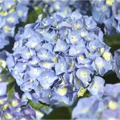 Hagehortensia, blå