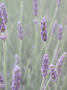 French lavender - for bouquets and table arrangements (e.g., escort cards/menus); and most definitely preferably this type of lavender (not Spanish or some of the other varieties)