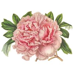 Pink Peony Flowers Vintage French Botanical Print Digital Download... ($3.71) ❤ liked on Polyvore featuring home, home decor, floral home decor, fabric home decor and pink home decor