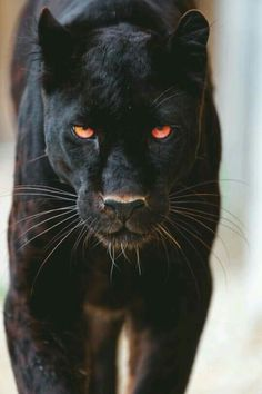 What Do Panthers Eat? A black panther is not a species in its own right; the name black panther is an umbrella term that refers to any big cat with a black coat. Nature Animals, Animals And Pets, Cute Animals, Baby Animals, Strange Animals, Beautiful Cats, Animals Beautiful, Gato Grande, Majestic Animals