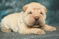 Shar Pei Puppies, Cute Puppies, Cute Dogs, Dogs And Puppies, N Animals, Cute Animals, Wrinkly Dog, English Bull, Puppy Love