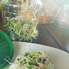 Meine ersten Radieschensprossen sind bereit zum verputzen... #radieschensprossen #sprossen #keimlinge #radieschenkeimlinge #keimglas #grillen #tsaziki #lecker