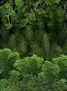 evergreens by horticultural art, via Flickr