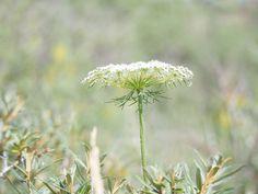 Witte schermbloemen herkennen http://www.yavannah.nl/infoteksten/witte_schermbloemen/witte_schermbloemen.php