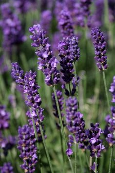 nice LOVE lavender.: ) so beautiful ,& useful. I have a lavender bottle I spray aroun...