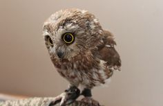 Baby Owl : aww