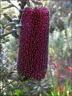 Banksia praemorsa (red variety) appears deep maroon - wine - purple - plum, rather than red