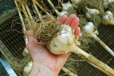 Acertar con el mejor momento para cosechar los ajos es fundamental para su posterior conservación y poder aprovechar así mejor su cultivo