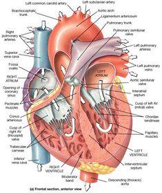 Human Body Anatomy, Human Anatomy And Physiology, Muscle Anatomy, Anatomy Organs, Medical Coding, Medical Science, Heart Anatomy, Cardiac Nursing, Medical Anatomy