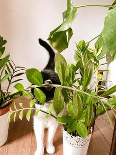ZZ plants are great house plants for beginners but are zz plants toxic to cats? This guide covers everything you need to know. Houseplants Safe For Cats, Toxic Plants For Cats, Plant Tissue, Zz Plant, Poisonous Plants, Monstera Deliciosa, Indoor Plants, House Plants, Things To Come