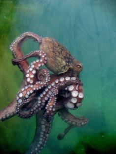 Octopus More