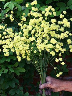 Eriogonum nudum  'Ella Nelson's Yellow'