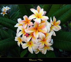 """Here is the plumeria called """"Bonnie Fox"""" from Hawaii. I had to unplug from Flickr for awhile sorry for not getting back to some of my friends here. Here is a late season shot taken last September not a very good time to shoot plumies, but never look a gift horse in the mouth."""