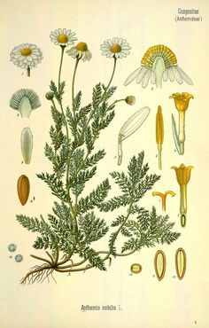 Roman chamomile. From Köhler's Medizinal-Pflanzen, vol. 4. Source: Biodiversity Heritage Library / Missouri Botanical Garden. Public domain. [Roman chamomile, Anthemis nobilis, Asteraceae]