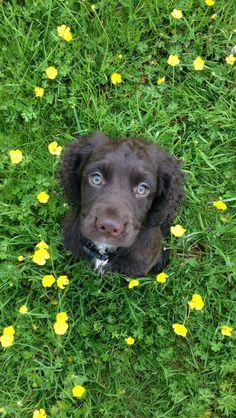 Meet Maggie - Sprocker Spaniel Puppy