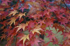 紅葉。強羅。