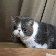 exotic.toshi だいぶ順番待ってるんですけど…。 #ムスカ#cats#cat#pets #pet #cute #catiloverclub #猫 #エキゾチックショートヘア#twitterweek#exoticshorthair#cat_features#instacat#catsgram#catsofinstagram#kitten#meow#catlover#catsagram#catlovers#cat_features#catlife#catlove#catsgram#cutecat#cutecats#Instagramjapan#topcatphoto#kittylove#mycat#instacats#instacat#ふわもこ部  2017/03/12 13:38:03