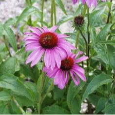 Echinacea Benefits, Reviews, Side Effects And Dosage