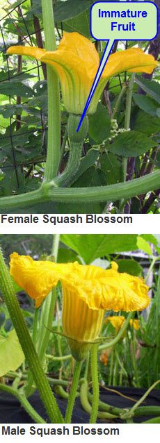 male vs. female squash blossom identifier