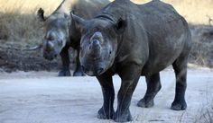 Black Rhinos: Through the efforts of NLPC (North Luangwa Conservation Programme), rhinos (declared extinct in Zambia in 1998) are being successfully reintroduced in parts of Zambia. Image credit Philomon Bulawayo/ Reuters #Rhinoceros
