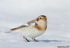 Snow Bunting   Snow Buntings Birds