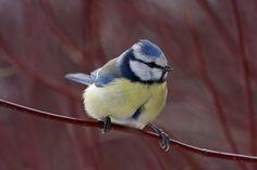 Anna luonnon viihdyttää, rakastu Suomen lintuihin!Tarkka haukka ja muita lintuja jatkaa upeaa, kotimaista luontokirjasarjaa. 1000 ilmiötä Suomen luonnosta -sarja havahduttaa Suomen luonnon pienten ja suurten ilmiöiden äärelle.Kirja on täynnä vertaansa vailla olevia kuvia ja ilmeikkäitä juttuja Suomen luonnon linnuista: Miltä näyttää varpuspöllön pesän sisustus? Voiko mikä tahansa lintu johtaa muuttolentuetta? Kuinka nopeasti joutsen juoksee? Lue nämä ja lähes 200 muuta hersyvää tositarinaa… Blue Jay, Bird, The Originals, Animals, Animales, Animaux, Birds, Animal, Birdwatching