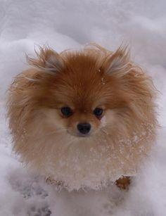 Mini the Pomeranian