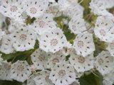 Mountain Laurel Flowers (Kalmia Latifolia), Eastern North America Impressão fotográfica
