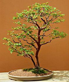 Jaboticaba bonsai trees - Myrciaria cauliflora.