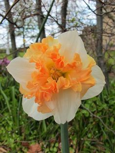 Daffodil Orangery available at LivingGardens.com