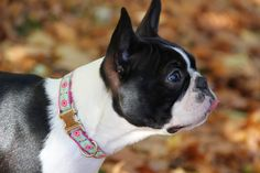 Boston Terrier / Dog / Dog Collar / Bloom Dog Design