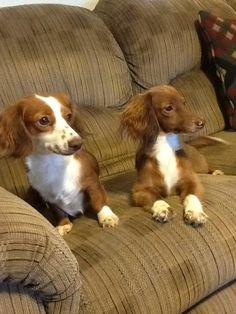 Check out this cool pair! Their colors are just about inversed. ;) - photo via Crusoe the Celebrity Dachshund fb page
