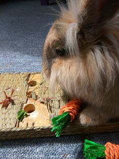 To brighten a dull Tuesday. My Lionhead Bunny Olive harvesting some carrots :) http://ift.tt/2qqfxvJ