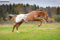 Wild Chestnut Appaloosa Mustang Stallion Feeling the 'Spring of Life'. Most Beautiful Animals, Beautiful Horses, Clydesdale, Cheval Pie, Appaloosa Horses, Leopard Appaloosa, Majestic Horse, All The Pretty Horses, Horse Pictures