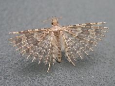 Many-Plumed Moth. Fascinating creature! Click on the picture and read about it...God is such an Artist!