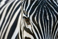 Photo about Close up of a Zebra and its beautiful black and white stripes at the Los Angeles Zoo. Image of stripes, black, africa - 55792842 Black White Photos, Black White Stripes, Black And White, Los Angeles Zoo, Zebras, Stripe Print, Wildlife, Stock Photos, Canvas