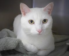 Meet Winter 35013282, an adoptable Domestic Short Hair-white looking for a forever home. If you're looking for a new pet to adopt or want information on how to get involved with adoptable pets, Petfinder.com is a great resource.