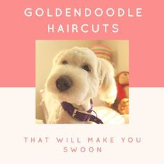 If you're considering grooming your goldendoodle, consider one of these types of cute goldendoodle haircuts - any of them are sure to make you swoon!