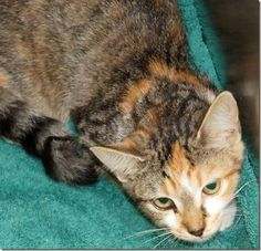 *DEAD>Crossposting to save lives: Shelly: Without rescue or adoption, dilute calico will be killed at NC shelter