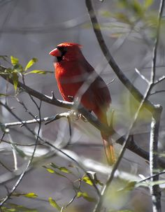 Red Cardinal In A Tree 2 by Chris Flees  See artwork featured daily on Facebook:  https://www.facebook.com/pages/Amazing-Art-and-Artists/755691297800619?ref=hl