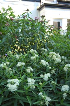 Two kinds of Asclepias - Red Milkweed and Swamp Milkweed 'Ice Ballet'