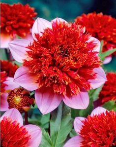 Dahlia à fleurs d'anémone