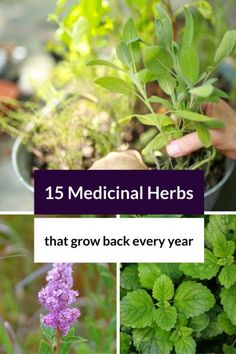 Learn about 15 Medicinal Herbs that Grow Back Every Year! Some common and not so…