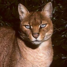The African Golden Cat (Profelis Aurata) is a medium-sized wild cat distributed over the rain forests of West and Central Africa........ BEAUTIFUL