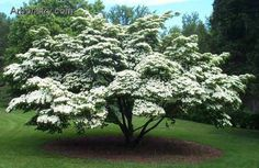 Kousa Dogwood Tree..Kousa Dogwood Kousa Dogwood has a broader, more rounded shape than a traditional Dogwood, and has the benefit of being more disease resistant. Growing to 20 feet, it blooms pink or white in spring, then turns a beautiful reddish in the fall..